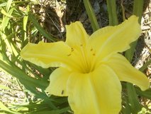 "Daylily, ""Sunny Delight"" in Warner Robins, Georgia"