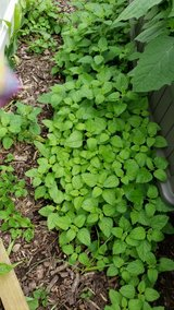 Lemon Balm Plant in Oswego, Illinois
