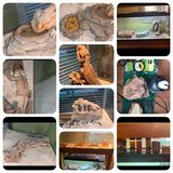 Bearded Dragon and enclosures $175 obo in Westmont, Illinois