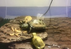 Turtle and accessories in Ramstein, Germany