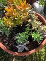 2 Beautiful potted succulents plants in Houston, Texas