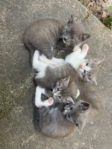 kittens in Leesville, Louisiana