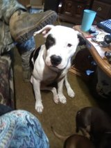 rehoming pure pitty in Fort Leonard Wood, Missouri