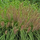 "Pennisetum ""Red Head"" Fountain Grass in Wheaton, Illinois"
