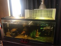 50gal tank kit with 5 grown turtles and some gold fish in Okinawa, Japan