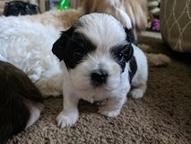 Shih Tzu Puppies in Naperville, Illinois