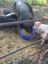 Potbelly pigs in Fort Leonard Wood, Missouri