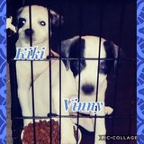 2 puppies need to rehome (boston terrier/jack russell and rat terrier/blue heeler mix in Fort Hood, Texas