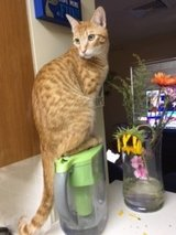 Orange tabby looking for foster or furever home in Okinawa, Japan