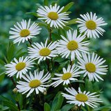 Montauk Daisy Plants - Qty: 3 in Lockport, Illinois
