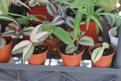 """Wandering Jew 1"""" pots rooted Green/Creme Green/Purple White (1) in Bartlett, Illinois"""