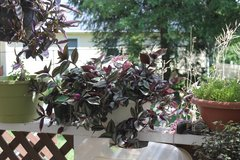 Large Wandering Jew Purple and Green in Bartlett, Illinois