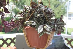 Rare wandering Jew Thick and compact with Hanger Purple/Green very healthy in Bartlett, Illinois