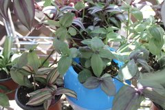 Discolored Green Wandering Jew Hard To Find Rare in Bartlett, Illinois