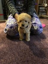 Toy poodle 3 months old in Okinawa, Japan