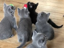 3 lovely kittens looking for sweet home in Ramstein, Germany