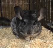 5-6 Year Old Grey Female Chinchilla -- Jewell -- can come w/ cage & access in Chicago, Illinois