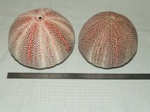 "Giant Red Sea Urchin Shell Beautiful Nautical Decor 4 ¾"" & 4 1/8"" in Glendale Heights, Illinois"