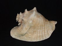 Large Queen Pink Conch Shell Horn in Westmont, Illinois