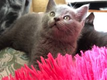 Just 1 BRITISH SHORT HAIR kitten left and looking for lovely and sweet home) in Ramstein, Germany