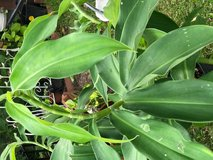 Costus Barbatus(Spiral Ginger) in Kingwood, Texas