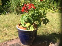 Red geranium with frost resistant pot in Ramstein, Germany