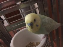 Reward! Please help me find my Parakeet in St. Charles, Illinois