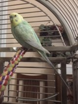 Reward! Please help me find my Parakeet in Aurora, Illinois
