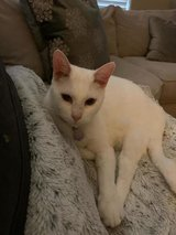 Lost:  white cat in Kingwood, Texas