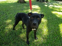 Female pit mix approx 1.5-2 years in Pasadena, Texas