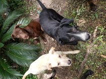 4 Male dogs 7 months old in Pasadena, Texas