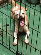 Chihuahua male in The Woodlands, Texas