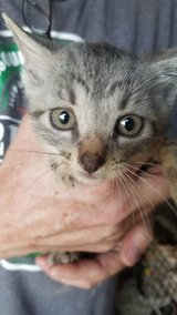 kitten in Fort Leonard Wood, Missouri