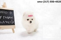the Excellent Male And Female Pomeranian pups in Pasadena, Texas