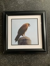 Okinawan Hawk framed photo in Okinawa, Japan
