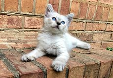 Beautiful kitten looking for a new home in Warner Robins, Georgia