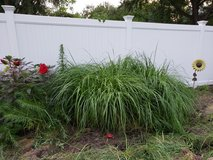 "Pennisetum ""Red Head"" Fountain Grass in Oswego, Illinois"