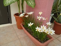 Zephyranthes in Okinawa, Japan