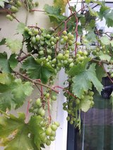 Anybody interested some grapes in return for some bottles of wine made from the grapes in Lakenheath, UK