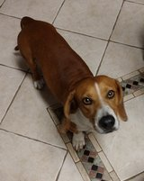 Basset Hound/Beagle mix found on 8/14 in Copperfield in Houston, Texas