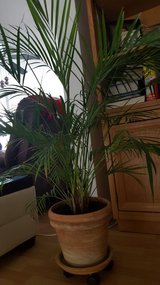 2 large ARECA palm plants in Stuttgart, GE