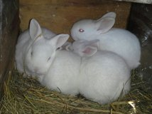 rabbits in Fort Campbell, Kentucky