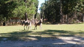 miniature donkeys in Beaufort, South Carolina