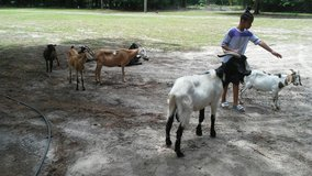 goats in Beaufort, South Carolina