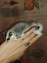 Mosaic Sugar Glider Joeys in Fort Campbell, Kentucky