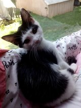 1/2 siemese' Kittens in Fort Campbell, Kentucky