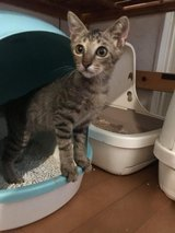 Male kitten  looking for a good home in Okinawa, Japan