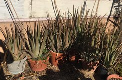 Large Aloe Vera plants in 29 Palms, California