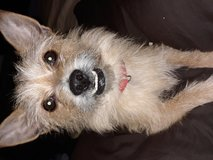 Lost little tan chorkie with underbite near jblm in Tacoma, Washington