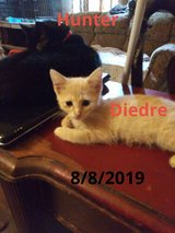 Female Kitten (DeeDee) in St. Louis, Missouri